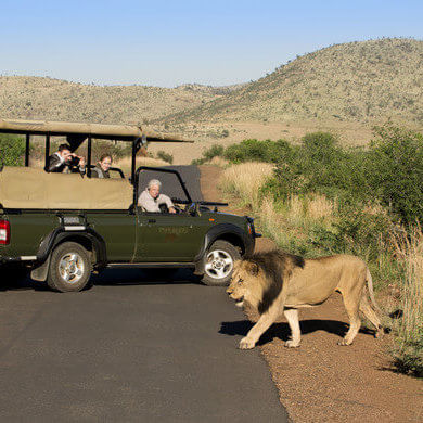 Lion_Sighting_Pilanesberg_Park_TASA_Tours
