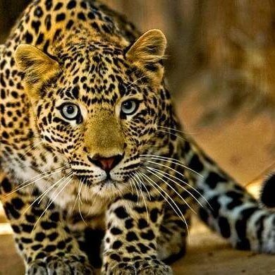 Leopard_Captured_by_Photo_TASA_Tours
